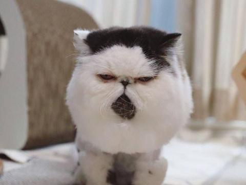 """远看是""""球"""",近看是猫,日本""""棉花糖""""猫坐拥百万粉丝"""