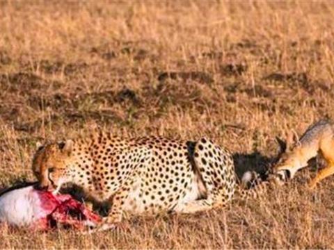 胡狼看到猎豹在吃肉,本想偷食却被赶,最后这结局真是没想到!