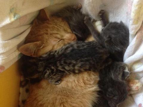 父爱爆棚的雄性橘猫超爱小猫,霸者一窝孤儿猫宝宝不肯撒手