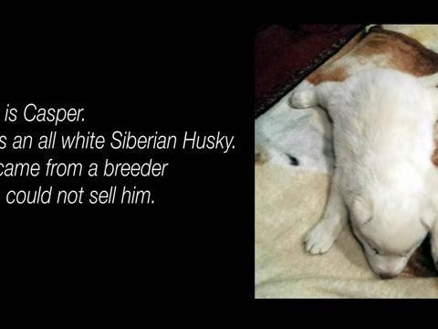纯白的小哈士奇很漂亮可惜不会走路,但爱和耐心最终拯救了它
