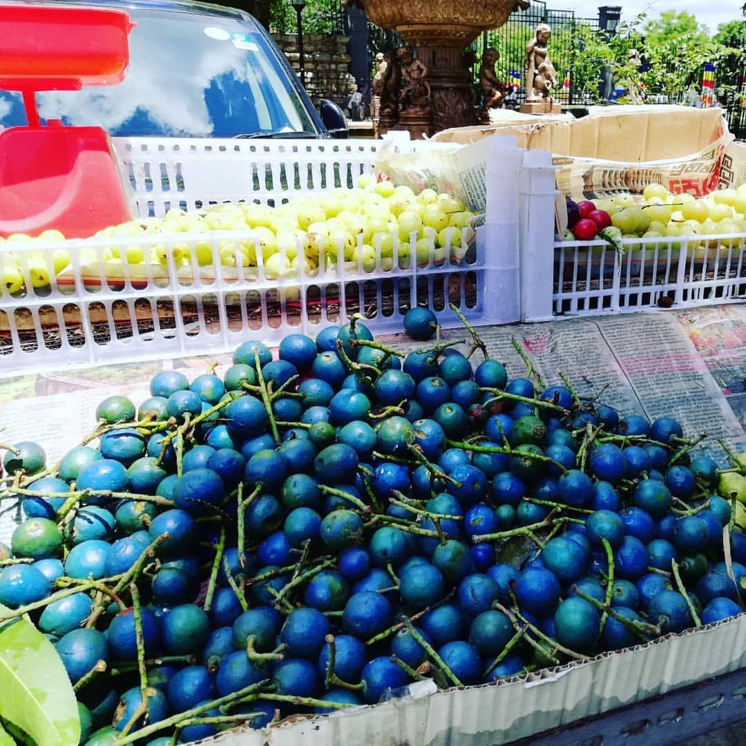梦中挂满宝石的东南亚橄榄树,蓝色的斯里兰卡锡兰橄榄!
