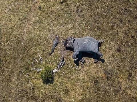 愤怒:大象被盗猎者残忍猎杀,象牙被盗,象鼻被砍断,象脸被毁