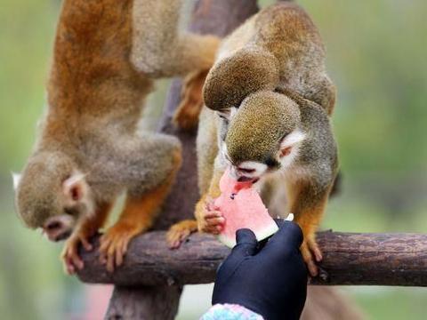江苏南通:大暑来临温度高,野生动物园动物下水避暑吃西瓜!