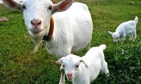 造成母羊出现不孕和失去地位的罪魁祸首:子宫内膜
