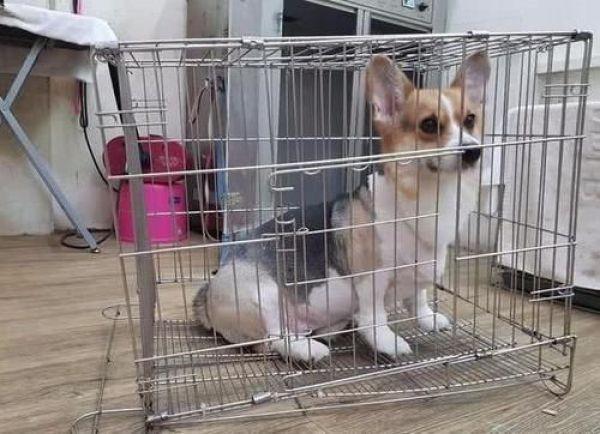 柯基屁屁太沉了,将狗笼子底座直接坐塌了,傻笑看着店主装无辜
