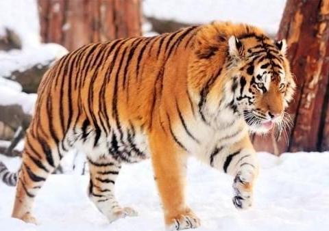 为什么相比于我国东北,东北虎更喜欢西伯利亚,并在那定居?