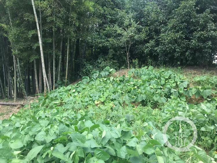 被种上蔬菜的土墩墓。摄影/上游新闻记者 时婷婷