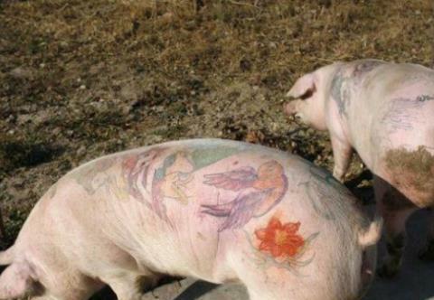 这是猪身上最脏的器官,有大量寄生虫,很多人不清楚?