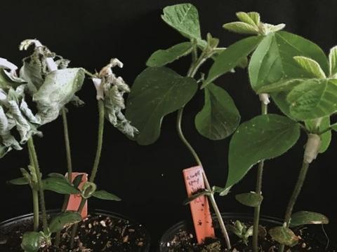 研究人员让农作物利用线虫化合物发生免疫反应保护自己