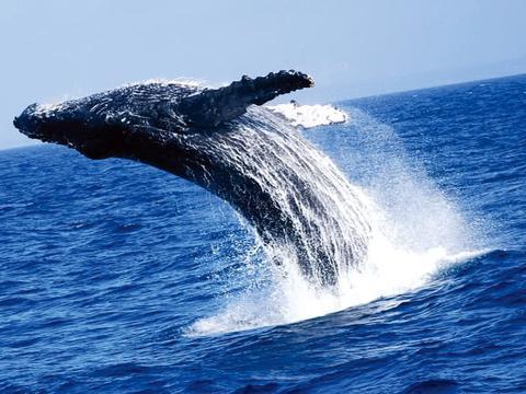 30吨座头鲸从海里一跃而下,看看这霸气的进食过程,每口按吨算!