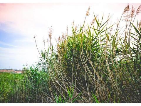 """秦王川湿地:兰州市唯一一个""""国""""字号湿地公园"""