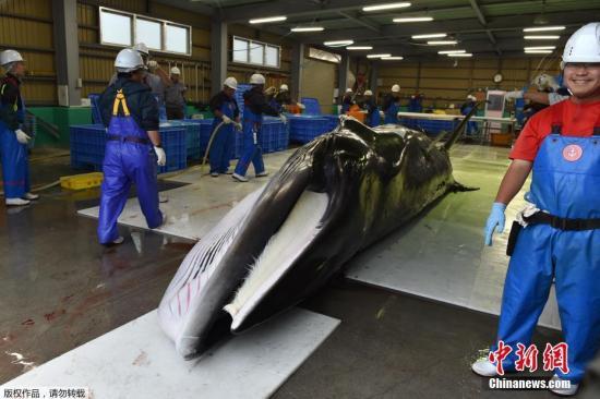 日本商业捕鲸重启将满1个月:捕捞顺利但需求不振|商业捕鲸