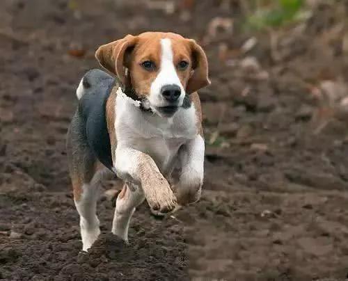 比格犬性格的优缺点,饲养这种狗狗之前,你需要先了解的事
