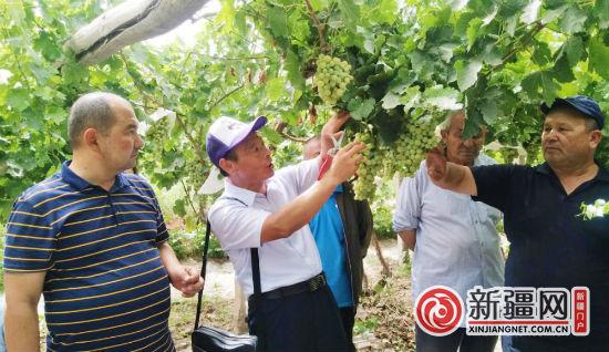 新疆阿图什市引进木纳格葡萄种植新技术
