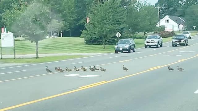 一群鸭子通过美国缅因州一条繁忙的公路
