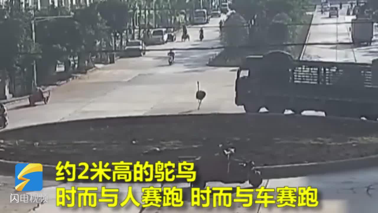 """闪电新闻35秒丨云南一鸵鸟城市街头马拉松式狂飙 上演""""速度与激情"""""""