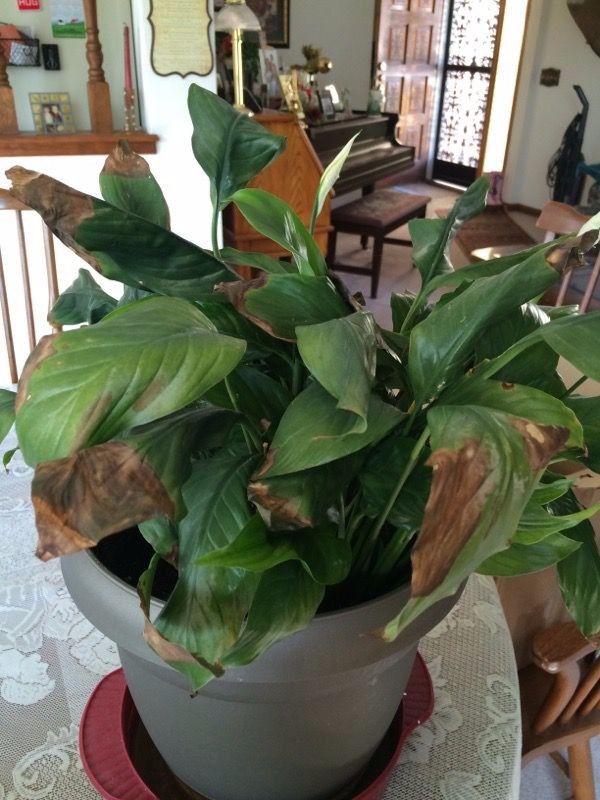 养盆栽白掌注意这几点,能常年开花,而且不会叶黄蔫萎