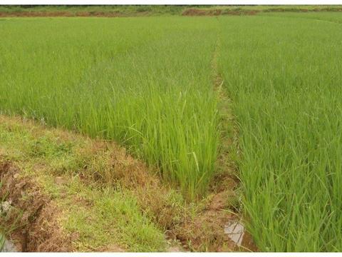 北碚区三圣镇德龙村的水稻!