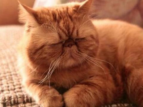 古代唐朝才开始养猫,宋朝有宠物美容,猫咪地位类似现代大熊猫