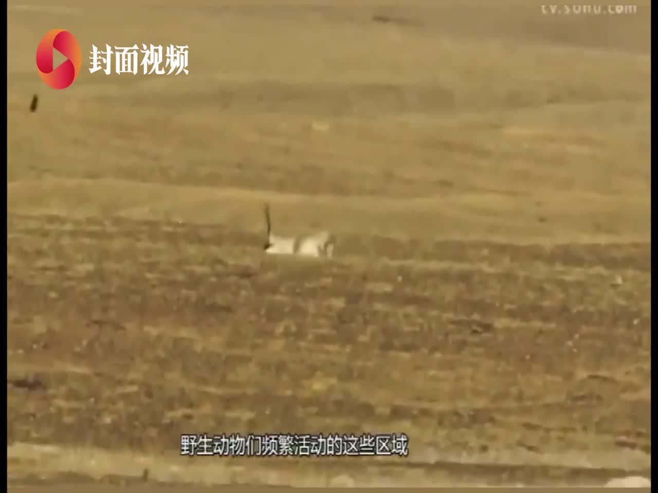 """画说世遗(10)可可西里:高原精灵藏羚羊的""""故乡"""""""