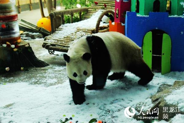 """中国最北熊猫馆人工降雪为13岁""""思嘉""""举办""""冰雪奇缘""""庆生会"""