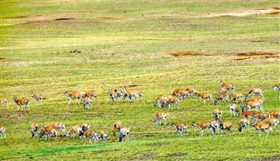 """西安专家""""解密""""藏羚羊种群迁徙"""
