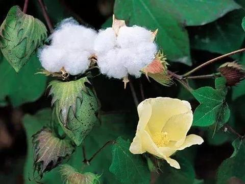 棉花花铃后期的田管重点