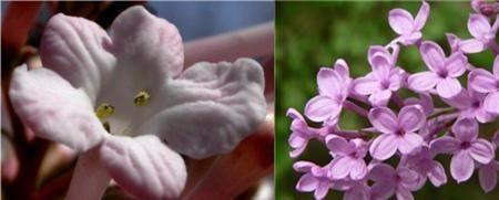 香荚和丁香花长得非常相像是一种植物?休丁香第四集图片