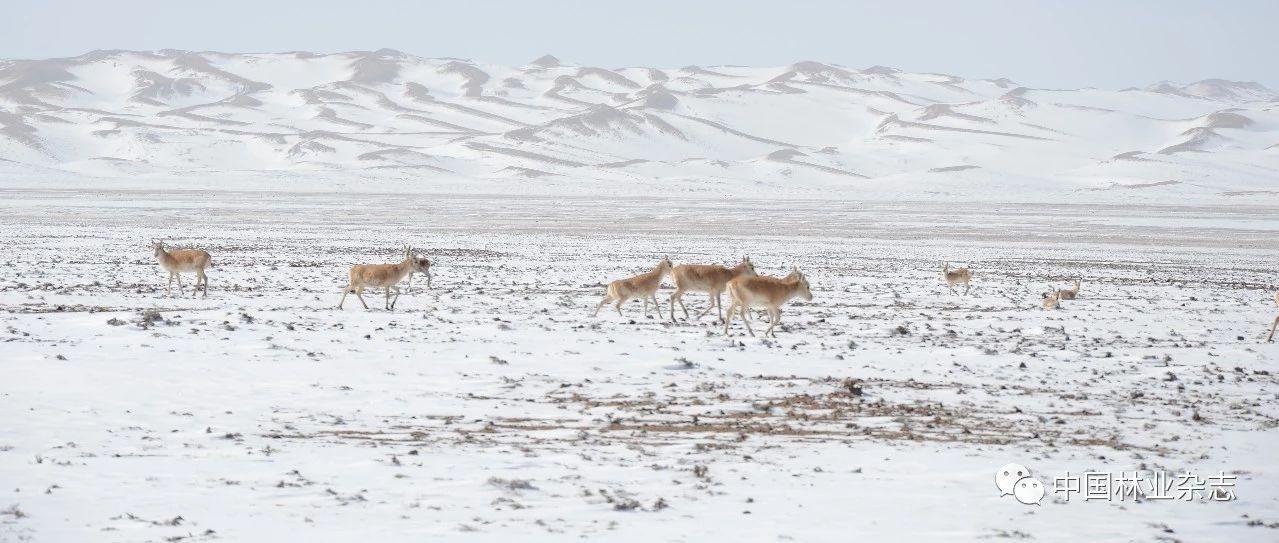 【生物多样性保护·行动】走近高原上的藏羚羊