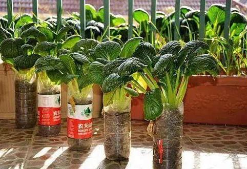一样的塑料瓶,不一样的用途,加点水种蔬菜,新鲜菜顿顿有
