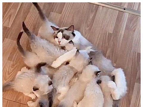 猫咪第一次怀孕,意外生太多,喂奶的时候一脸想死,我太难了