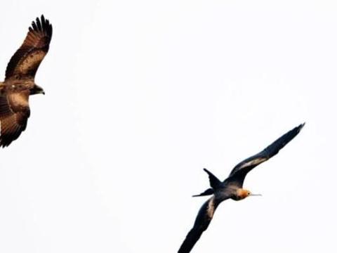世界上飞得最快的鸟,半年能绕赤道飞行一圈