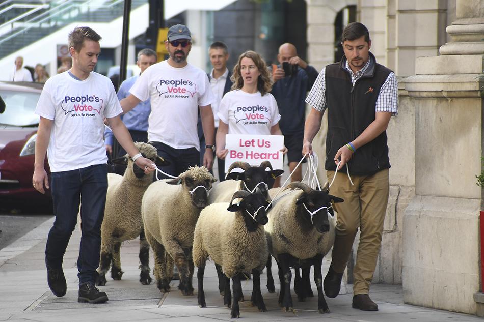 """當地時間2019年8月15日,英國倫敦,支持二次公投的英國農民代表牽著一?羊聚集在白廳外,舉著""""讓我們被傾聽""""的標語,抗議即將到來的無協議脫歐。 視覺中國 圖"""