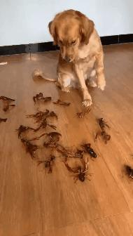 金毛想偷吃小龙虾,主人摆了一地活龙虾,金毛的反应笑翻了