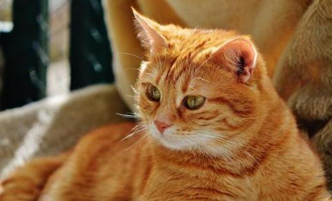 猫吃三金片可以排尿吗,猫吃多少三金片排尿
