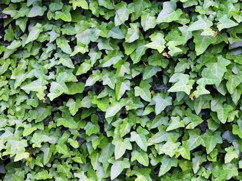 常春藤不肯长?那就给它换个盆,叶子变得油绿发亮!