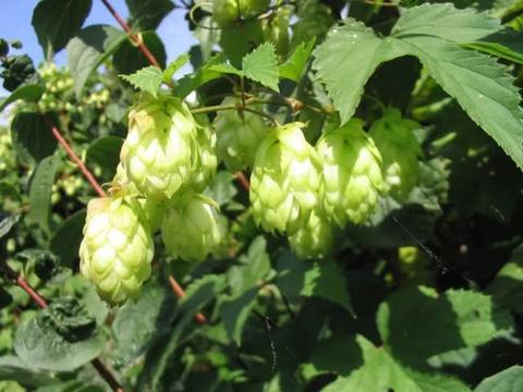 花朵长得像松果一般的啤酒花,种院里就能爬满整面墙,花量极多