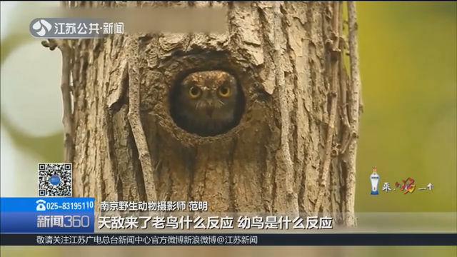 20年的坚持,400多小时精彩记录 南京大叔拍摄紫金山鸟儿纪录片