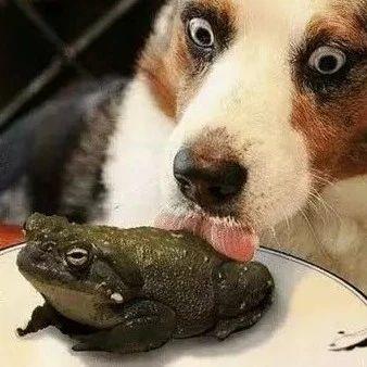 舔蛤蟆上瘾的狗太多,人类被迫开了宠物戒毒所