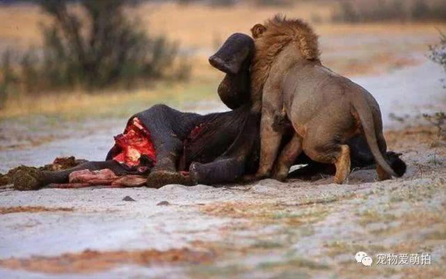 落单小象遭雄狮猎食,没跑几步就被咬死,再看时已经成这般模样