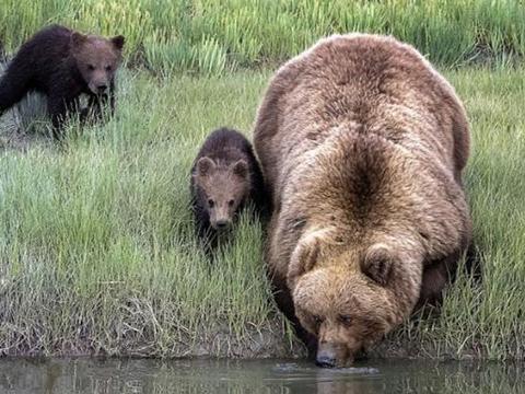 母棕熊带幼崽过河,下水后却迟迟不见幼崽跟来,扭头后一脸无奈
