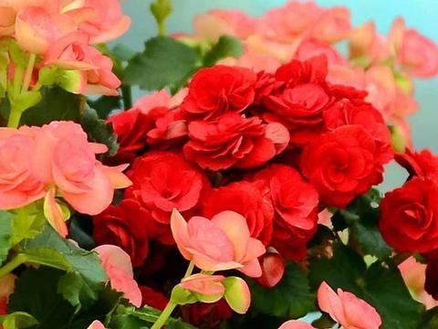 玫瑰海棠花形多样,花色丰富,具有独特的姿、色、香!