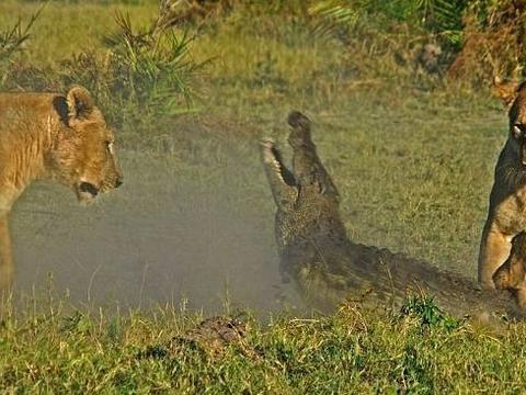 鳄鱼想要偷袭幼狮,不巧被母狮逮个正着,水下霸王竟活活被咬死