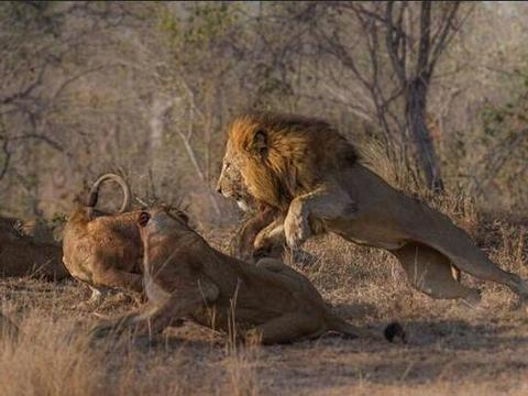 变态雄狮虐杀幼崽只因肚子饿,一旁的母狮只能怒吼却也无可奈何