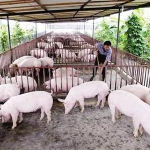猪场非洲猪瘟疫情解除后,咋复养?