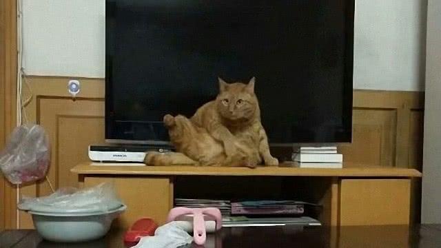 我把猫咪养成了猪,胖的都走不动路了,这必须得减个10斤8斤的