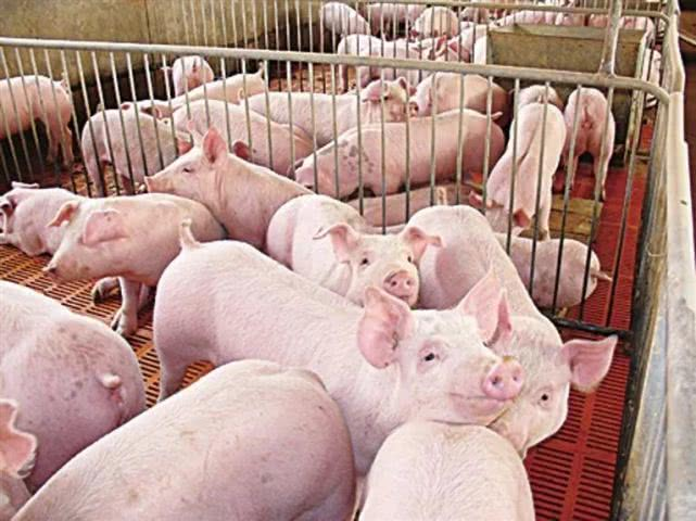 政府补贴,助力生猪养殖户尽快脱困,恢复产能!