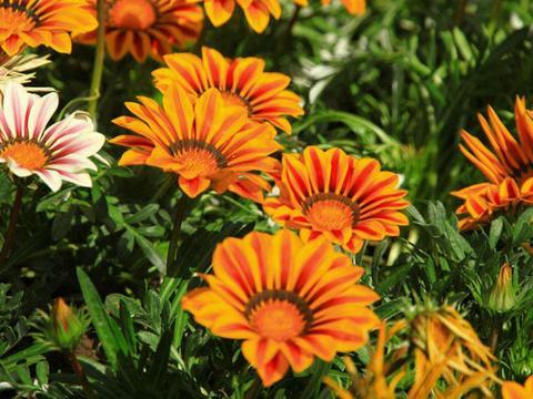 家里种植几盆勋章菊,不仅养护方法简单,且每株花朵有3种颜色!