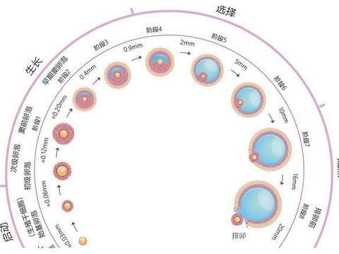 【好孕指南】什么时候监测卵泡更准确?