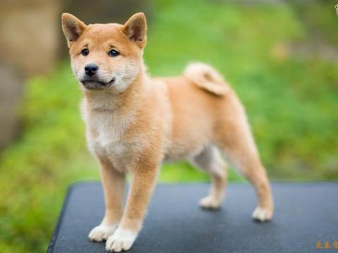 狗狗关节炎走不了路?4种天然成分,维护狗狗关节健康